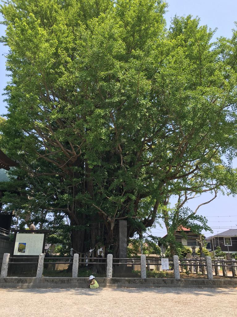 葛飾八幡宮 新緑の千本公孫樹